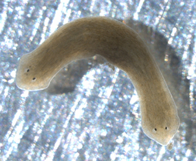 how to get rid of planaria worms